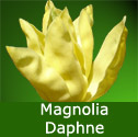 Daphne Magnolia Tree 1.25-2.00m 12L pot,  2-3 Years Old, VIVID YELLOW FLOWERS + AWARD  **FREE UK MAINLAND DELIVERY + FREE 100% TREE WARRANTY**