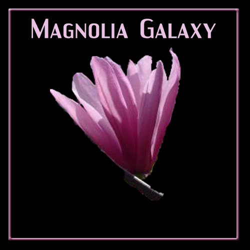 Magnolia Galaxy tree flower