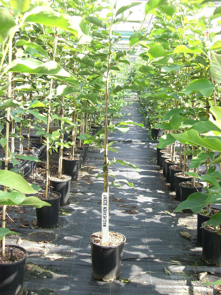 Buy Heaven Scent Magnolia Tree Online Free Uk Delivery Free 3 Year
