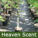 Mature Heaven Scent Magnolia Tree HEAVILY SCENTED + PINK FLOWERS + AWARD + LOW MAINTENANCE **FREE UK MAINLAND DELIVERY + FREE TREE WARRANTY**