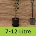 Magnolia Spectrum in a 7 to 12 litre pot. Free UK mainland delivery and 3 year limited warranty.