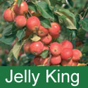 Malus Jelly King Crab Apple (4) Tree Sent 1.5 - 2.40m In 7-12 L Pots. SMALL TREE + EXCELLENT PINK JELLY + LONG FRUITING + HEAVY CROPPER + DISEASE RESISTANT **FREE UK MAINLAND DELIVERY + FREE 100% TREE WARRANTY**