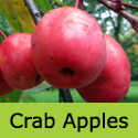 John Downie(4) Crab Apple Tree, Supplied 1.5 to 2.4m in 10-15L Pot, POPULAR + AWARD +GOOD FOR JELLY + FAST GROWNING **FREE UK MAINLAND DELIVERY + FREE 3 YEAR TREE WARRANTY**
