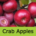 Laura Crab Apple Tree(4), Delivered 90-180cm in 5- 15L Pot, SMALL + PATIO + SLOW GROWING + Jelly **FREE UK MAINLAND DELIVERY + FREE 100% TREE WARRANTY**