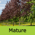 Acer Crimson Sentry Height  150-250cm 5-20L Pot, RED PURPLE LEAVES + UPRIGHT + MEDIUM SIZE  **FREE UK MAINLAND DELIVERY + FREE 3 YEAR LTD TREE WARRANTY**