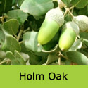 Holm Oak Tree Quercus Ilex, EVERGREEN, GOOD FOR ROBIN HOOD **FREE UK MAINLAND DELIVERY + FREE 100% TREE WARRANTY**