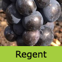 Mature Regent black eating grape