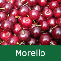 F Bare Root Morello Cherry Tree, 1-2 metres tall, 1-3 years old,  (FRUIT AUGUST + COOKING + CANKER RESISTANT +NORTH UK + RELIABLE + LARGE FRUITS) **FREE UK MAINLAND DELIVERY + FREE 100% TREE WARRANTY**