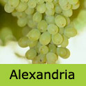 Muscat Alexandria Grape Vine, Eating, White, Indoor , LARGE + QUALITY DESSERT **FREE UK DELIVERY + FREE 3 YEAR LTD WARRANTY**