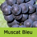 Muscat Blue (or Bleu) Grape Vine, Eating + Cooking, Black, Outdoor DISEASE RESISTANT + RELIABLE + LARGE GRAPES**FREE UK DELIVERY + FREE 3 YEAR LTD WARRANTY**