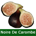 Noire De Carombe Fig Tree, height 50 - 100cm in a 5L pot, 2-3 years old, JUICY SWEET TASTE + HARDY + BLACK SKIN **FREE UK MAINLAND DELIVERY + FREE 100% TREE WARRANTY**