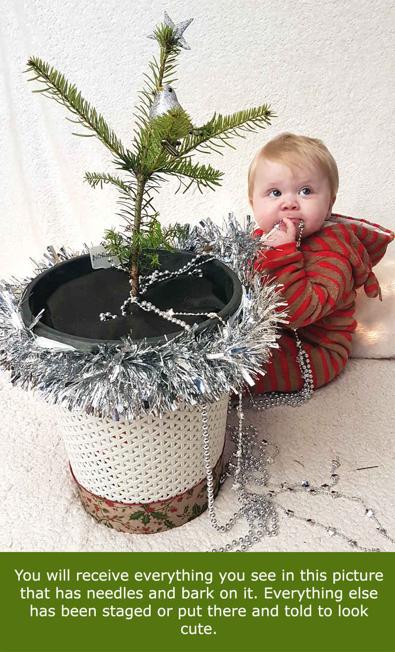 Real Mini Christmas Tree Gift For Baby. Abies Nordmann Fir ...