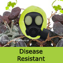 Orion grape vine disease resistant