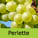 Perlette seedless grape vine