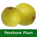Yellow Pershore Plum Tree (C2) Eating + Cooking, Fruits Mid August, Height 1.5m-2.0m, 2-3 Years Old, 12L pot, SELF FERTILE + LARGE HARVEST +FREE UK MAINLAND DELIVERY + 100% TREE WARRANTY