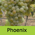 Phoenix Grape Vine, Eating + Cooking, White, Outdoor, LARGE CROP, DESSERT + WINE + HARDY + MILDEW RESISTANT  **FREE UK DELIVERY + FREE 3 YEAR LTD WARRANTY**