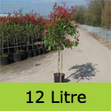 Red Robin Photinia Tree ATTRACTIVE + EVERGREEN + HEDGING + TOPIARY + CONTAINER SUITABLE, 2-3 Years Old, Supplied 1.5 to 2.50 metres in a 7-20 litre container **FREE UK MAINLAND DELIVERY + FREE 100% TREE WARRANTY**