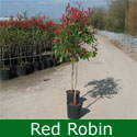 <font color=&quot;red&quot;>DELIVERED AUGUST 2017</font> Red Robin Photinia Tree ATTRACTIVE + EVERGREEN + HEDGING + TOPIARY + CONTAINER SUITABLE, 2-3 Years Old, Supplied 1.5 to 2.50 metres in a 7-20 litre container **FREE UK MAINLAND DELIVERY + FREE 100% TREE WARRANTY**