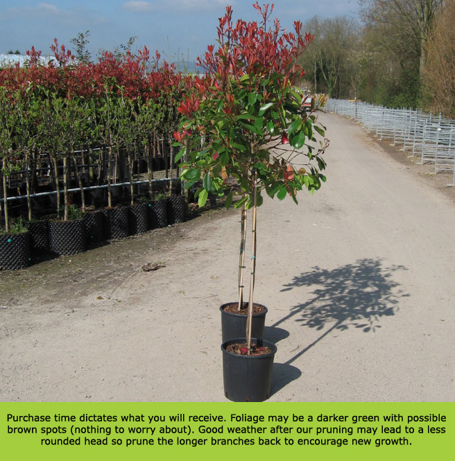 buy red robin photinia tree online free uk delivery free 3 year
