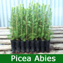 Norway Spruce Christmas Tree (Picea abies) 20-40cm trees**FREE UK MAINLAND DELIVERY + FREE 100% TREE WARRANTY**