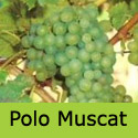 Polo Muscat Grape Vine Bush, Eating, White, Indoor HEAVY EARLY CROP + WINE + DISEASE RESISTANT  **FREE UK DELIVERY + FREE 3 YEAR LTD WARRANTY**