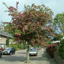 Double Red Flowered or Midland Hawthorn Tree (Crataegus laevigata 'Pauls Scarlet') Supplied height 1.5 to 2.4 metres in a 12 litre container **FREE UK MAINLAND DELIVERY + FREE 100% TREE WARRANTY**