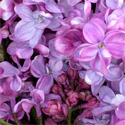 <font color=&quot;red&quot;>DELIVERED AUGUST 2018</font> Prince Wolkonsky Lilac Tree / shrub  Supplied 50-120cm in 7-12L pots, 2-3 Years old,  WELL BEHAVED + NICE SCENT **FREE UK MAINLAND DELIVERY + FREE 3 YEAR LIMITED WARRANTY**