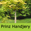 Prinz Handjery Sycamore Maple Tree, Supplied 125-250 cm, 7-15 L pot COAST + EXPOSED LOCATION **FREE UK MAINLAND DELIVERY + FREE 100% TREE WARRANTY**