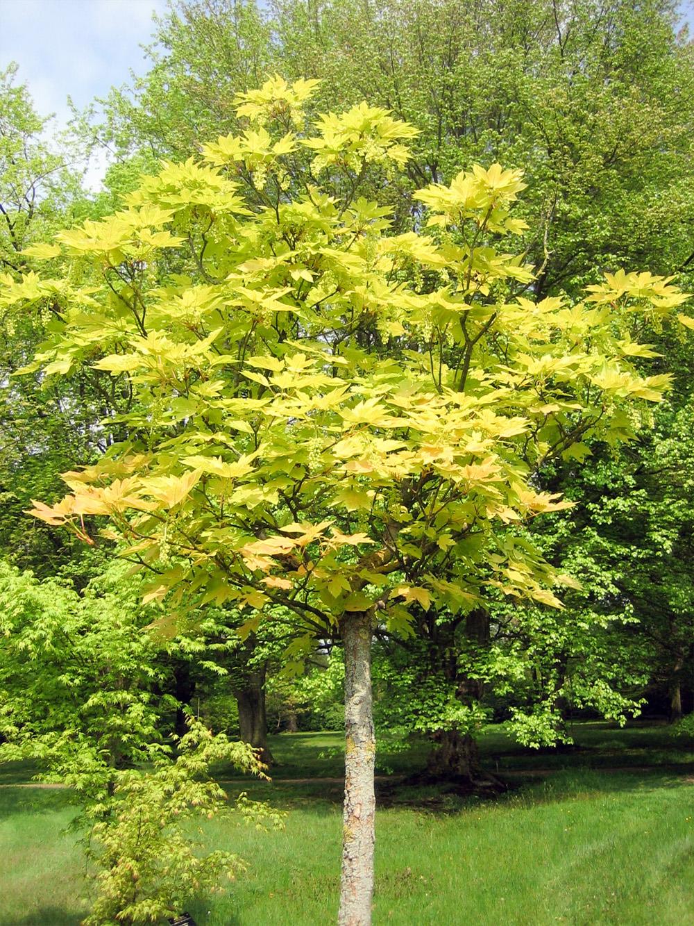 Buy Prinz Handjery Sycamore Maple Tree Online Free Uk Delivery