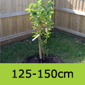 Prunus Amanogawa Flagpole Cherry Tree just planted