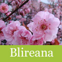 Blireana Ornamental Plum Tree, Delivered 125-240 cm, 7-15 L Pot,  AWARD + SMALL + FRAGRANT**FREE UK MAINLAND DELIVERY + FREE 100% TREE WARRANTY**