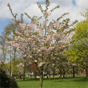 Ichiyo Japanese Flowering Cherry Tree, Supplied 1.5 - 2.0m 12 litre pot, AWARD + MEDIUM HEIGHT + AUTUMNAL REDS  **FREE UK MAINLAND DELIVERY + FREE 100% TREE WARRANTY**