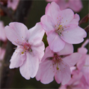 Prunus Jacqueline Ornamental Cherry Tree, 1.25-2.00m, EARLY FLOWERS + DEEP PINK **FREE UK MAINLAND DELIVERY + FREE 100% TREE WARRANTY**