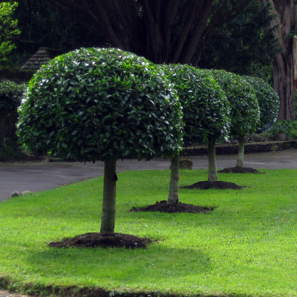 All Our Portugal Laurel Hedge Trees Come With Free Uk