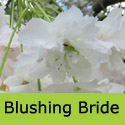 "<font color=""red"">DELIVERED AUGUST 2020</font> Blushing Bride Tree (Prunus Shogetsu) Supplied height 150-250cm, 7-20 litre container **FREE UK MAINLAND DELIVERY + FREE 100% TREE WARRANTY**"