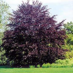 Purple or Copper Beech Tree (Fagus sylvatica Purpurea) Supplied 1.0 to 2.6 m, 2-3 years old, 5-15 litre container **FREE UK MAINLAND DELIVERY + FREE 100% TREE WARRANTY**