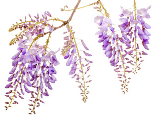 Burford Wisteria Tree Vine (Wisteria 'Burford') 4 Years old, Supplied 1.0 - 1.25m in a 3-7L Pot, **FREE UK MAINLAND DELIVERY + FREE 100% TREE WARRANTY**