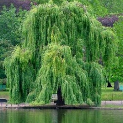Golden Weeping Willow Tree (Salix x sepulcratis var. chrysocoma / Alba Tristis) Supplied height 1.5 to 2.6 m, WET SITE SUITABLE**FREE UK MAINLAND DELIVERY + FREE 3 YEAR TREE WARRANTY**
