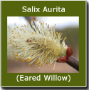 Salix Aurita (Eared Willow) 20-40cm, Grows to 3m, WET SITE SUITABLE + ATTRACTS INSECTS ***FREE UK MAINLAND DELIVERY + FREE 100% TREE WARRANTY***