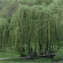 Golden Curls Weeping Willow Tree (Salix Erythroflexuosa Golden Curls/Twisted Willow) Supplied at 90-220cm, WET SITE SUITABLE + COASTAL + ATTRACTIVE BARK + BRANCHES **FREE UK MAINLAND DELIVERY + FREE 3 YEAR TREE WARRANTY**