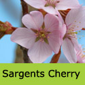 Mature Sargents Cherry Prunus Sargentii Tree AWARD + EARLY FLOWERING **FREE DELIVERY + TREE WARRANTY**