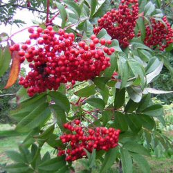 Sargents Rowan Tree (Sorbus sargentiana) Supplied height 1.25m in a 7 litre container **FREE UK MAINLAND DELIVERY + FREE 100% TREE WARRANTY**