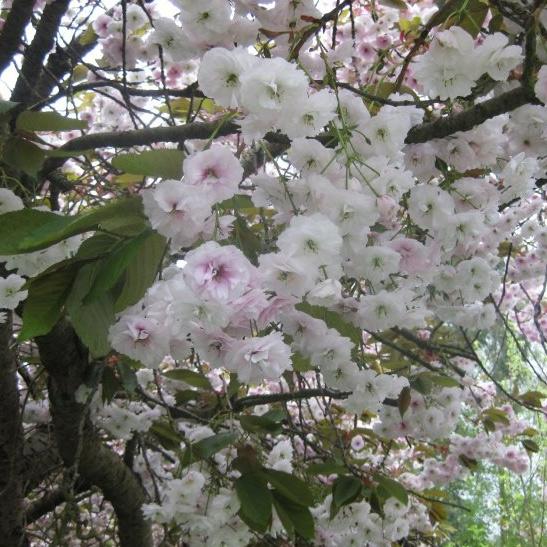 Buy Shirofugen Japanese Flowering Cherry Tree Online Free Uk Delivery Free 3 Year Tree Warranty