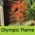 Sorbus Olympic Flame planted after purchase