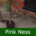 Pink Ness Mountain Ash or Rowan Tree (Sorbus 'Pink Ness') Supplied height 1.50 to 2.0m in a 7-12 litre container **FREE UK MAINLAND DELIVERY + FREE 100% TREE WARRANTY**