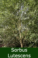 Whitebeam Tree (Sorbus aria 'Lutescens') 1.5-2.5m, 7 or 12L Pot, SILVER LEAVES + RED BERRIES + AWARD + MEDIUM HEIGHT + COASTAL + CLAY + CHALK + LOW MAINTENANCE **FREE MAINLAND UK DELIVERY + FREE TREE WARRANTY**