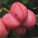 Spindle Shrub (Euonymus europeaus)  20-40cm Shrubs, HARDY + INTERESTING BARK + BRIGHT COLOURS + NORTH UK + COAST  **FREE UK MAINLAND DELIVERY + FREE 3 YEAR LIMITED TREE WARRANTY**