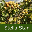 Stella Star Gage Tree (C3) Eating or Cooking, Fruits Early August - Supplied height 1.5m-2.0m, 2-3 years old, 12L pot, SELF FERTILE + EARLY CROPPER + NORTH UK + FREE UK MAINLAND DELIVERY + 100% WARRANT