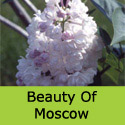 Syringa Beauty Of Moscow flower