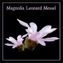 Loebneri Leonard Messel Magnolia Tree  100 - 200cm in a 7- 12 L Pot, 2-3 Years Old **FREE UK MAINLAND DELIVERY + FREE 100% TREE WARRANTY**